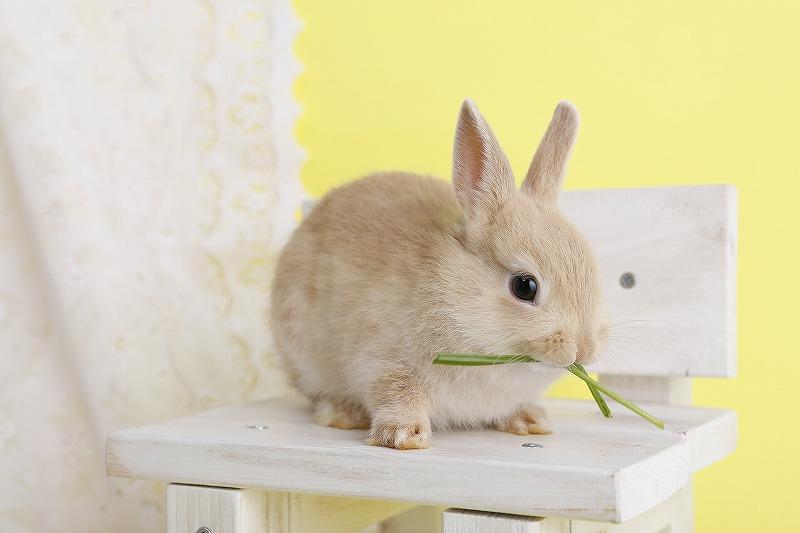 近年ペットとしての人気が高いウサギ