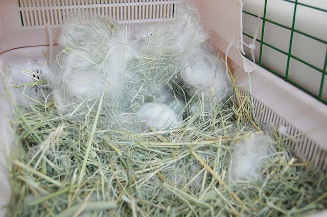 バミューダグラスを敷き詰めて巣を作ります